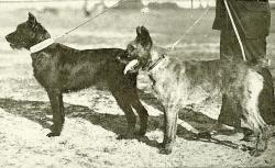 bouviers-de-roulers-draga-championne-12-premiers-prix-et-lyda-bouvier-belge-des-flandres-1er-prix-bruxelles-1920.jpg