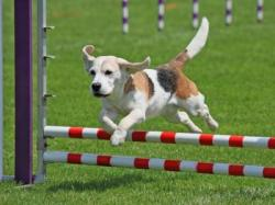 Photo chien agility 2