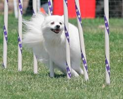 Photo chien agility 7